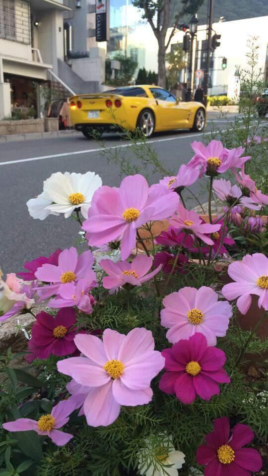 北野の街は秋の花、コスモスが咲いています。