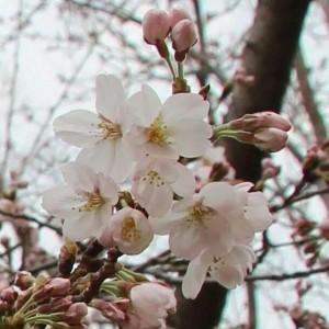 もうすぐお花見の季節
